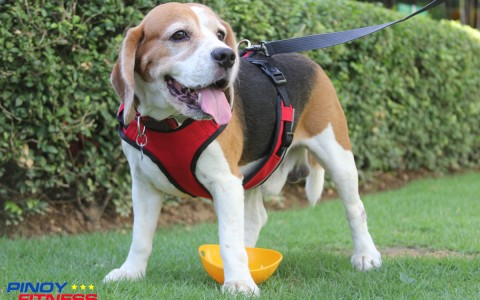 Duke models Easy dog leash and body harness by Bow and Wow best suited for an easy run around the park.